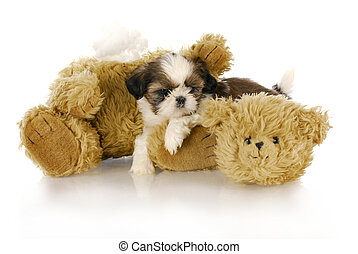 bad puppy - cute shih tzu puppy laying beside ripped and...