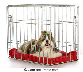dog in a crate - purebred shih tzu puppy on white background