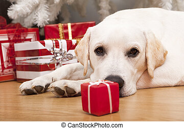 Christmas Dog - Beautiful Labrador retriever on Christmas...