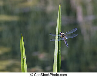 Dragonfly - Beautiful dragonfly seating on green leaf