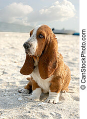 basset hound - puppy basset hound sitting on sand beach
