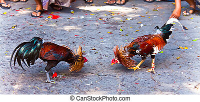 Rooster fight - A traditional roosters fight in Bali