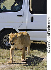 Lioness- brief encounter - Injured lioness ( Panthera leo)...