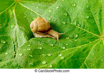 snail and water drops on green leaves - After rain. Snail...