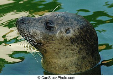 Common or harbor seal Phoca vitull - Head of a harbor seal