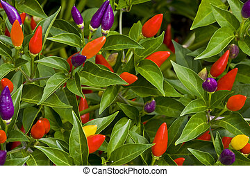 Ornamental Peppers - Close up of ornamental pepper plant