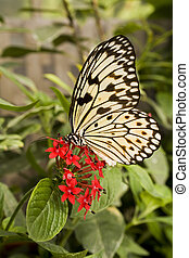 Paper Kite Butterfly, Idea leuconoe - Close up of Paper Kite...