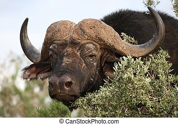 African Buffalo - Large male African buffalo looking out...