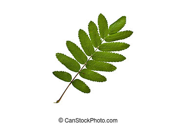rowan tree leaf - Ash Branch and leaves isolated on white...