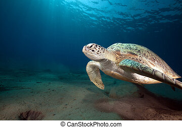 Green turtle and ocean