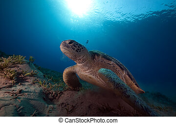 male green turtle