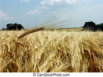The beautiful fields of grain stretching under the blue sky