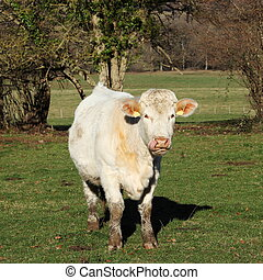Charolais Cow Facing Tongue Out