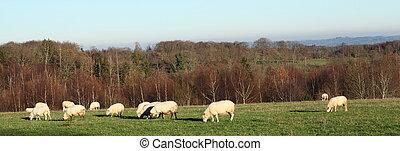 Grazing Sheep Panorama Banner