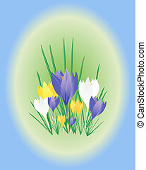 crocus - an illustration of a group of crocus flowers and...