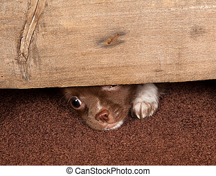 Puppy escape - Little puppy chihuahua dog trying to make an...