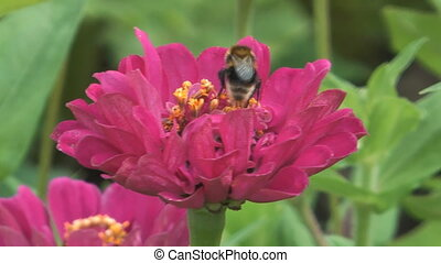 Bumblebee. - The bumblebee gathers honey on a pink flower.