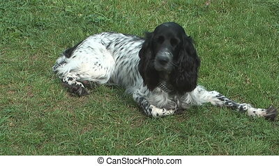 Spaniel - Russian Hunting Spaniel resting on green grass