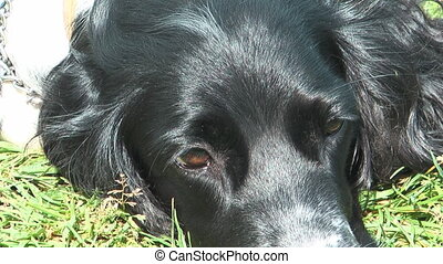 Spaniel. - Close up clip of Russian Hunting Spaniel resting...