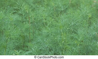 Fennel - HD 1080 close up shot of dill sway in the wind
