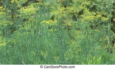 Fennel - HD 1080 close up shot of inflorescence dill sway in...