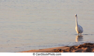 Egyptian heron bird walking on coastline