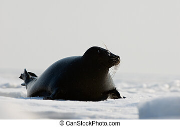 The Ladoga seal The Ladoga seal in a native habitat Winter...