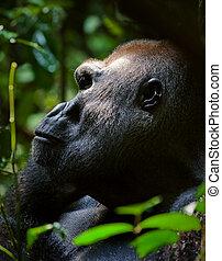 Silverback. - Silverback - adult male of a gorilla.Western...