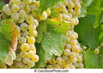 Chardonnay Grapes Close Up - Chardonnay Wine Grapes Close Up