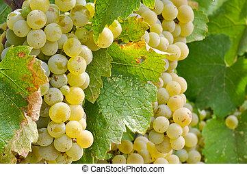 Chardonnay Grapes Close Up - Chardonnay Wine Grapes Close Up