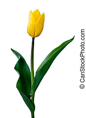 Single Yellow tulip isolated on white background
