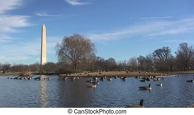 Canadian Geese on Lake Near Washington Monument