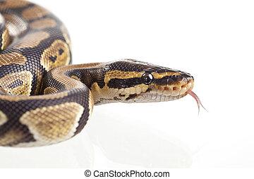 Reptile - Royal Python, or Ball Python Python regius, in...