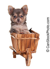 Puppy in hand cart - Chihuahua Puppy sitting in a little...