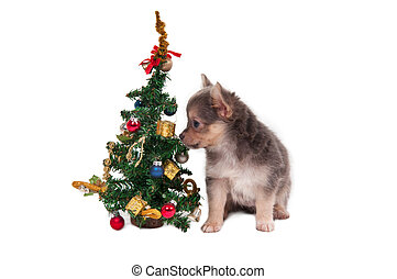 Chihuahua and Christmas Tree - Chihuahua puppy sitting next...