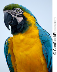 Blue-and-yellow Macaw - The Blue-and-yellow Macaw Ara...