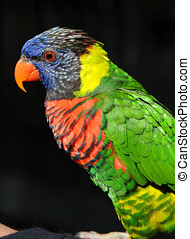 Rainbow Lorikeet Profile - The Rainbow Lorikeet...
