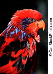 Red Lory Profile - The Red Lory (Eos bornea or Eos rubra)[1]...