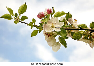 Apple Tree Blossoms - Limb of apple tree photographed...