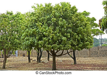West African Mango Trees - Grove of mango trees in the upper...