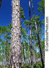 Pine Flatwoods - Florida - The beautiful pine flatwoods of...