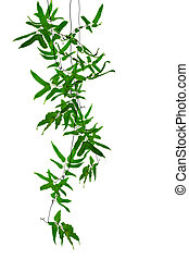Tropical creepers - Tropical creeper plants hanging on white...