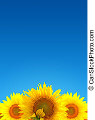 Sunflower landscape - Beautiful bright landscape field of...