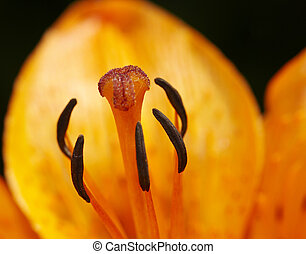 close-up of a lily - Detail (close-up) of the bloom of lily