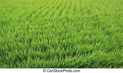 Green rice field and wind