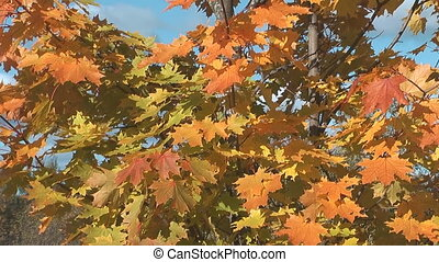 Maple tree. - HD 1080 clip of maple leaves against the blue...
