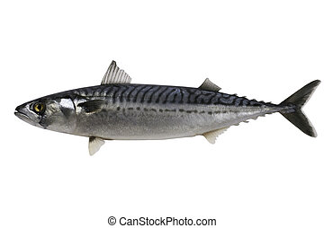 Mackerel - Trade sample large mackerel on a white background...