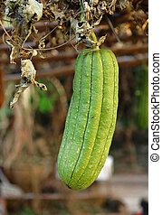 Fresh green sponge gourd