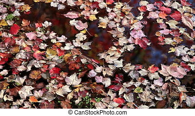 Autumn Leaves Floating on Lake