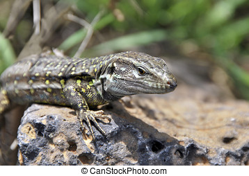 portrait of a lizard - Portrait of a Tizon Lizard. Little...